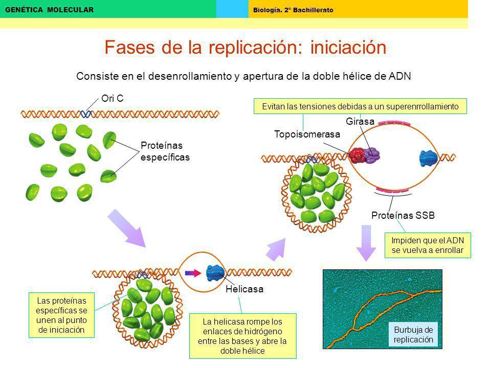 Biología. 2º Bachillerato GENÉTICA MOLECULAR Fases de la replicación: iniciación Consiste en el desenrollamiento y apertura de la doble hélice de ADN