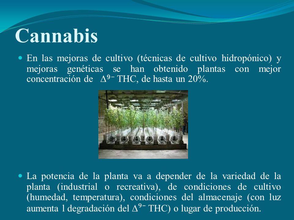 Cannabis En las mejoras de cultivo (técnicas de cultivo hidropónico) y mejoras genéticas se han obtenido plantas con mejor concentración de THC, de ha