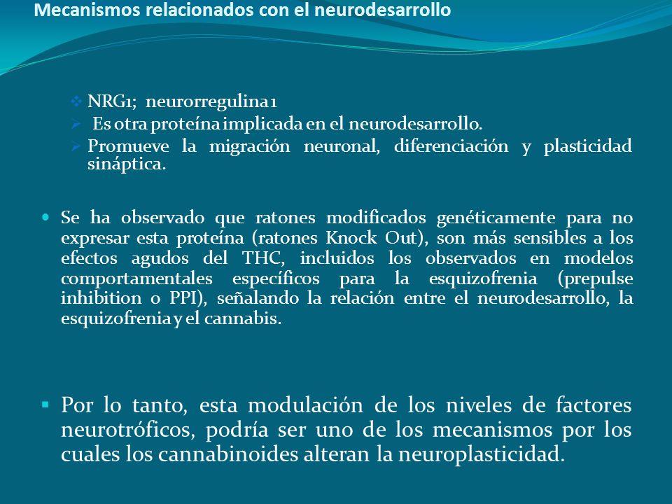 Mecanismos relacionados con el neurodesarrollo NRG1; neurorregulina 1 Es otra proteína implicada en el neurodesarrollo. Promueve la migración neuronal