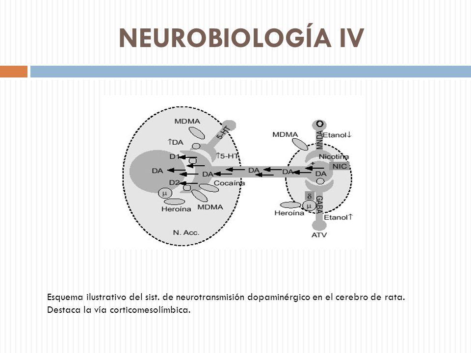 NEUROBIOLOGÍA IV Esquema ilustrativo del sist. de neurotransmisión dopaminérgico en el cerebro de rata. Destaca la vía corticomesolímbica.