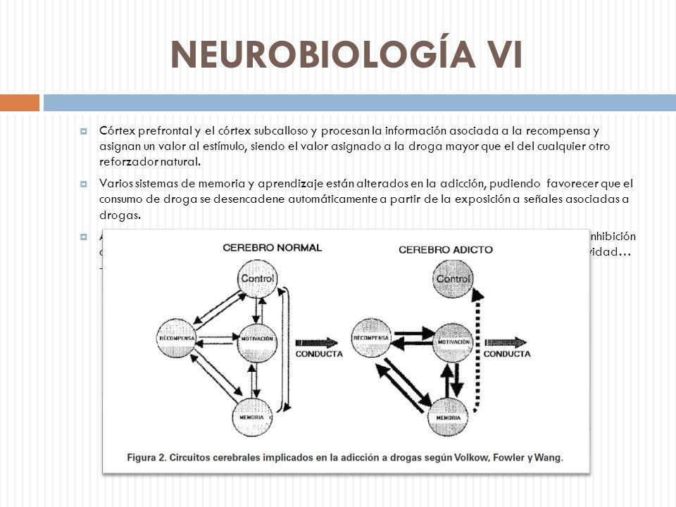 NEUROBIOLOGÍA VI Córtex prefrontal y el córtex subcalloso y procesan la información asociada a la recompensa y asignan un valor al estímulo, siendo el