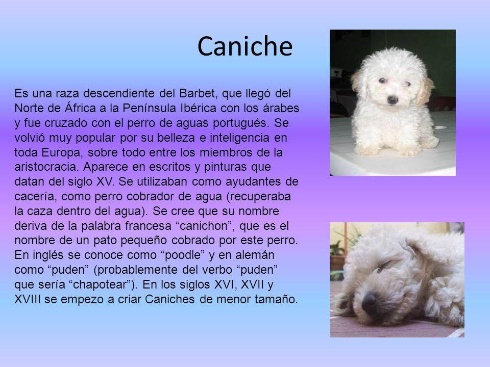 Caniche Es una raza descendiente del Barbet, que llegó del Norte de África a la Península Ibérica con los árabes y fue cruzado con el perro de aguas p