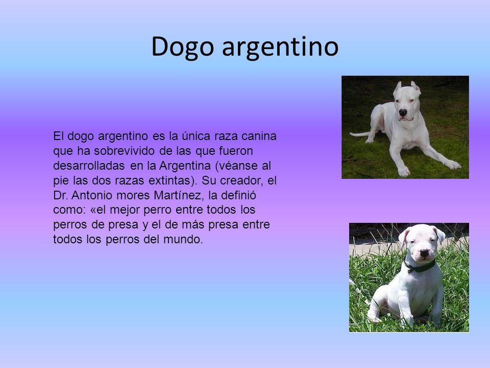 Dogo argentino El dogo argentino es la única raza canina que ha sobrevivido de las que fueron desarrolladas en la Argentina (véanse al pie las dos raz