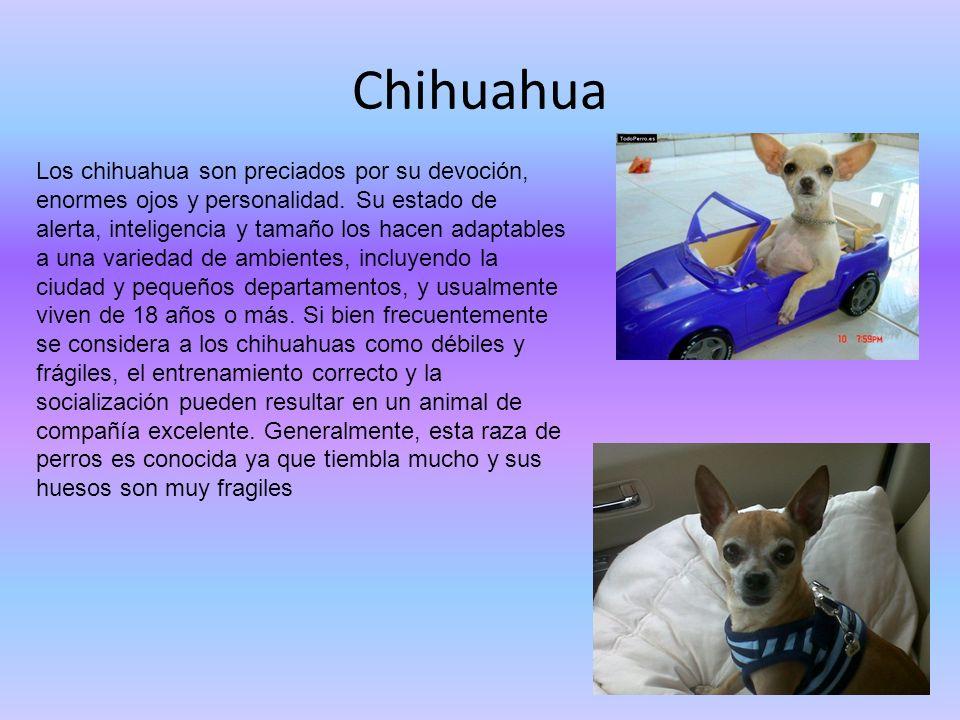 Chihuahua Los chihuahua son preciados por su devoción, enormes ojos y personalidad. Su estado de alerta, inteligencia y tamaño los hacen adaptables a