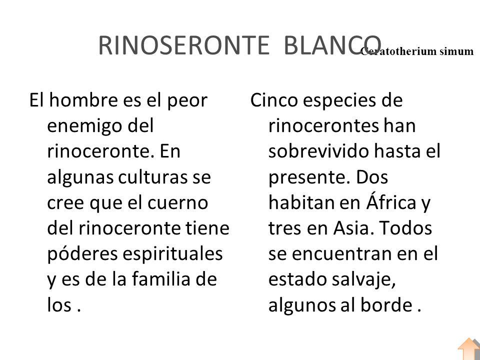 Ceratotherium simum RINOSERONTE BLANCO El hombre es el peor enemigo del rinoceronte. En algunas culturas se cree que el cuerno del rinoceronte tiene p