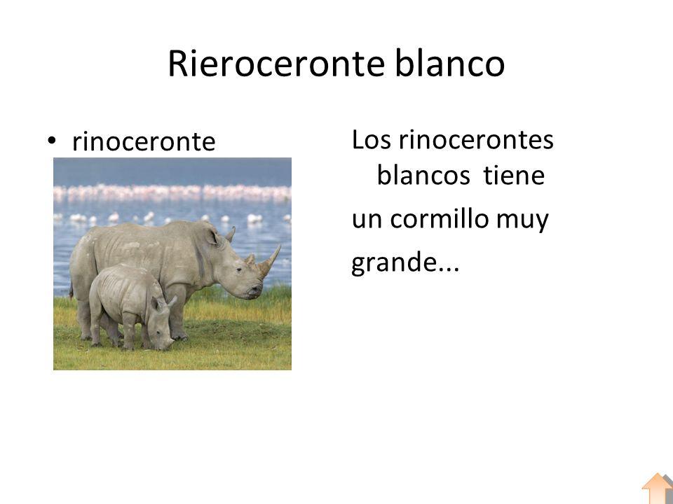 Rieroceronte blanco rinoceronte Los rinocerontes blancos tiene un cormillo muy grande...