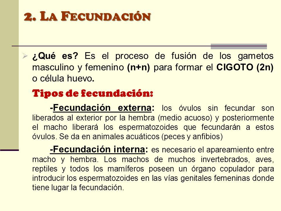 ¿Qué es? Es el proceso de fusión de los gametos masculino y femenino (n+n) para formar el CIGOTO (2n) o célula huevo. Tipos de fecundación: -Fecundaci
