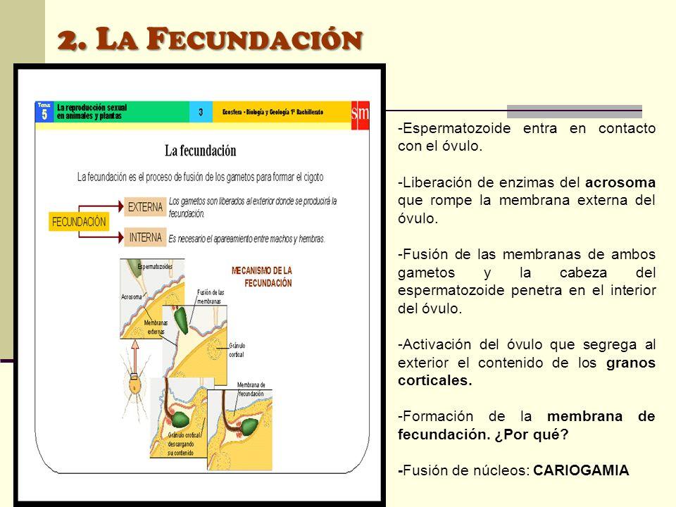 -Espermatozoide entra en contacto con el óvulo. -Liberación de enzimas del acrosoma que rompe la membrana externa del óvulo. -Fusión de las membranas