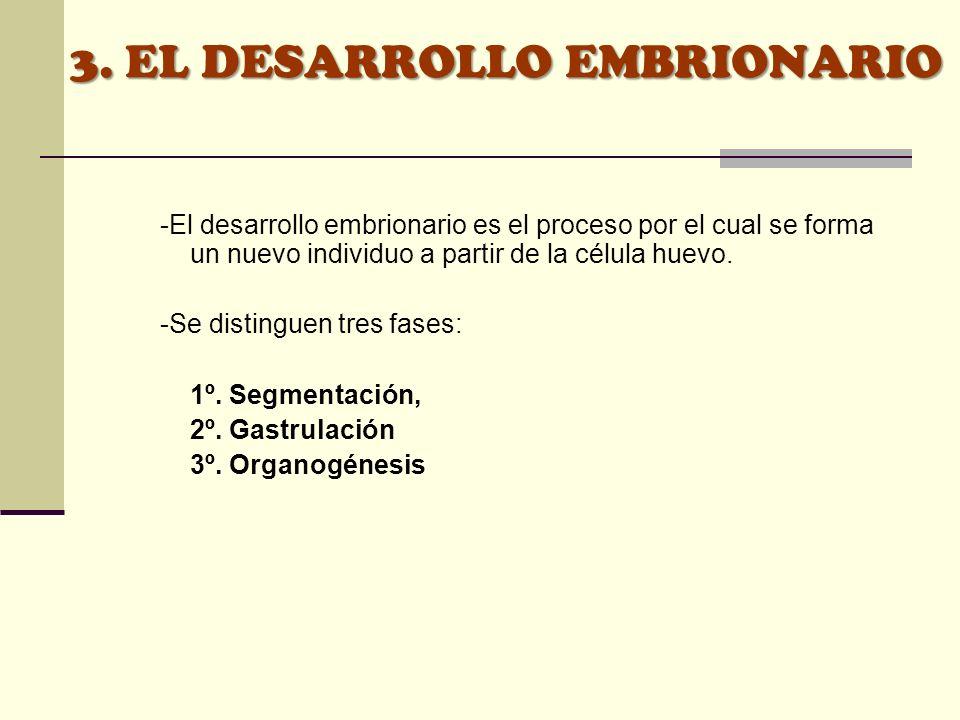 3. EL DESARROLLO EMBRIONARIO -El desarrollo embrionario es el proceso por el cual se forma un nuevo individuo a partir de la célula huevo. -Se disting