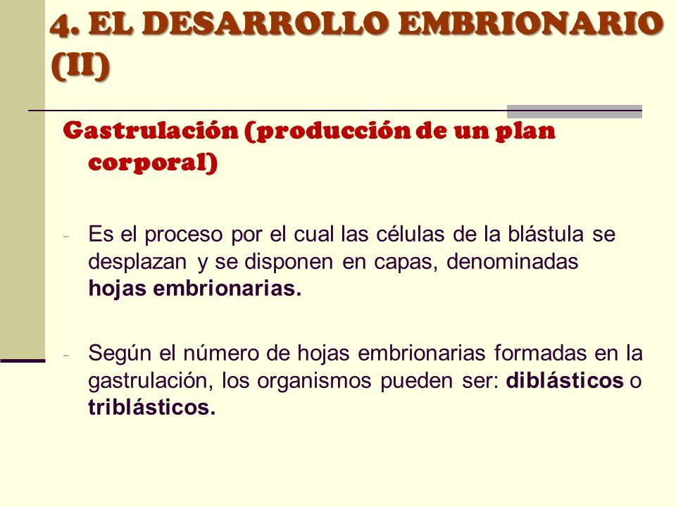 4. EL DESARROLLO EMBRIONARIO (II) Gastrulación (producción de un plan corporal) - Es el proceso por el cual las células de la blástula se desplazan y