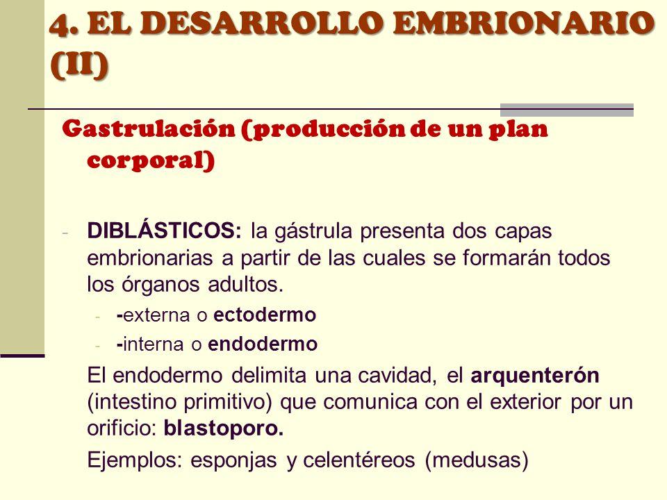 4. EL DESARROLLO EMBRIONARIO (II) Gastrulación (producción de un plan corporal) - DIBLÁSTICOS: la gástrula presenta dos capas embrionarias a partir de