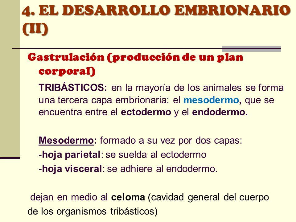 Gastrulación (producción de un plan corporal) TRIBÁSTICOS: en la mayoría de los animales se forma una tercera capa embrionaria: el mesodermo, que se e