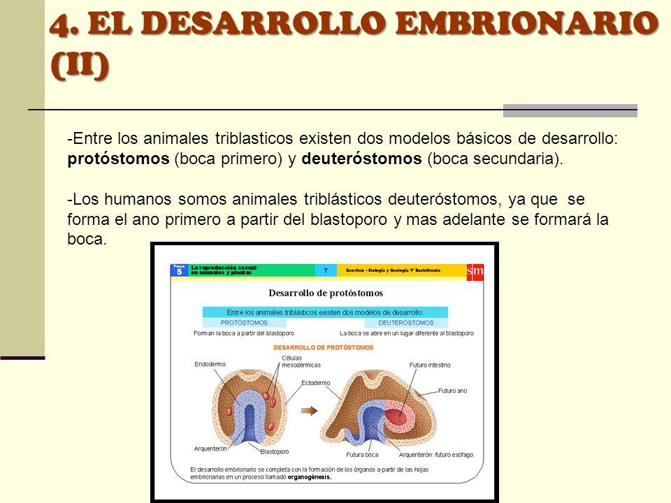 -Entre los animales triblasticos existen dos modelos básicos de desarrollo: protóstomos (boca primero) y deuteróstomos (boca secundaria). -Los humanos