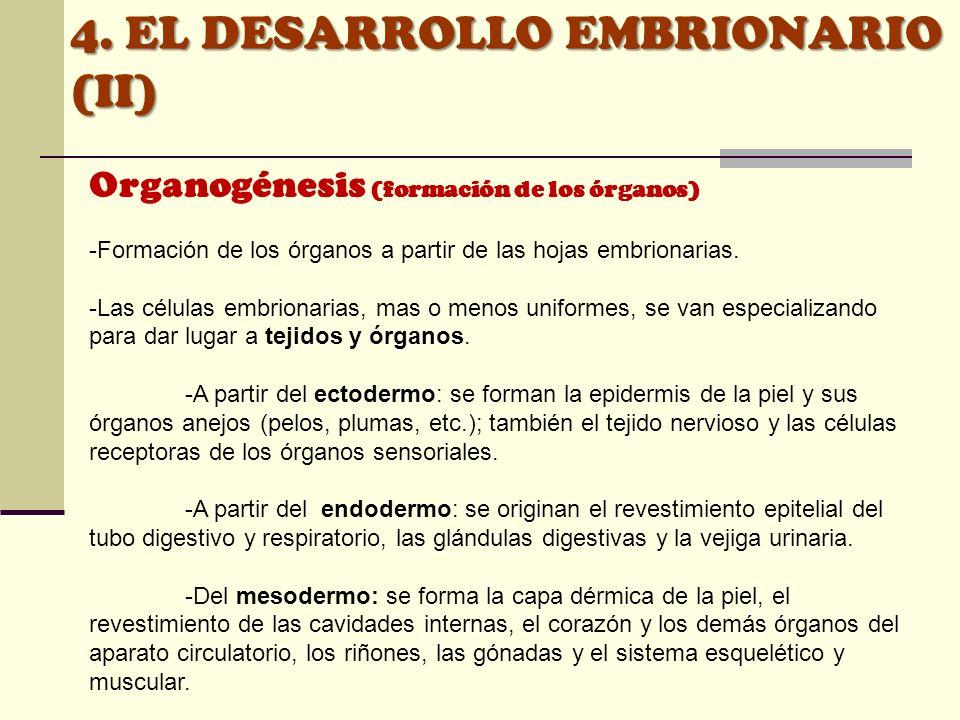 4. EL DESARROLLO EMBRIONARIO (II) Organogénesis (formación de los órganos) -Formación de los órganos a partir de las hojas embrionarias. -Las células
