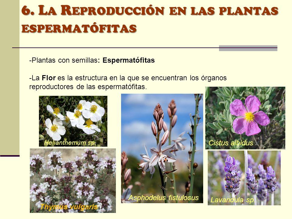 6. L A R EPRODUCCIÓN EN LAS PLANTAS ESPERMATÓFITAS -Plantas con semillas: Espermatófitas -La Flor es la estructura en la que se encuentran los órganos