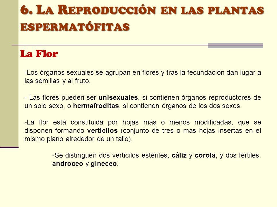 6. L A R EPRODUCCIÓN EN LAS PLANTAS ESPERMATÓFITAS La Flor -Los órganos sexuales se agrupan en flores y tras la fecundación dan lugar a las semillas y