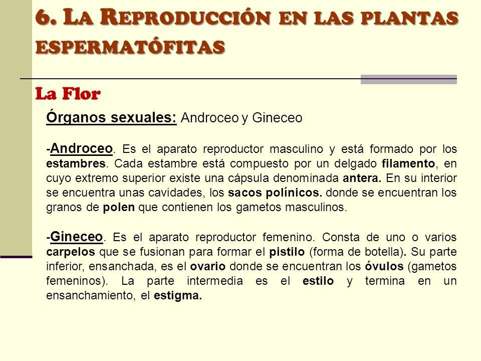 6. L A R EPRODUCCIÓN EN LAS PLANTAS ESPERMATÓFITAS La Flor Órganos sexuales: Androceo y Gineceo - Androceo. Es el aparato reproductor masculino y está
