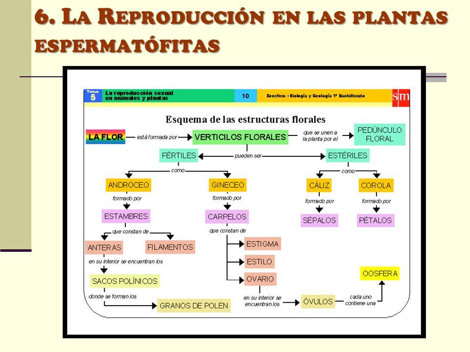 6. L A R EPRODUCCIÓN EN LAS PLANTAS ESPERMATÓFITAS
