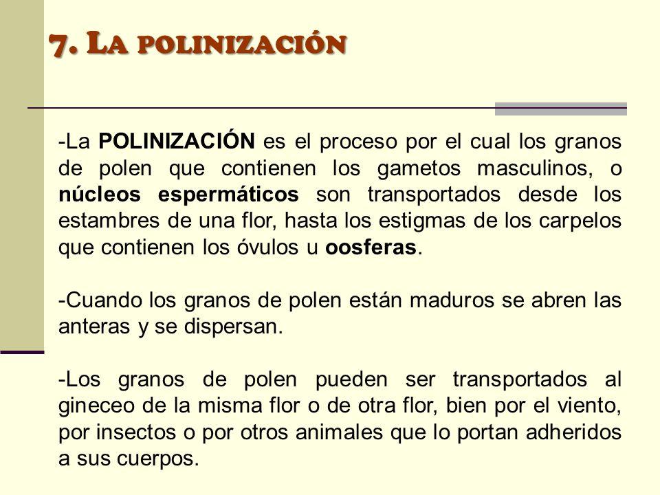 7. L A POLINIZACIÓN -La POLINIZACIÓN es el proceso por el cual los granos de polen que contienen los gametos masculinos, o núcleos espermáticos son tr