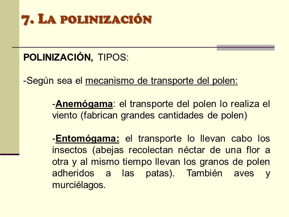 7. L A POLINIZACIÓN POLINIZACIÓN, TIPOS: -Según sea el mecanismo de transporte del polen: -Anemógama: el transporte del polen lo realiza el viento (fa