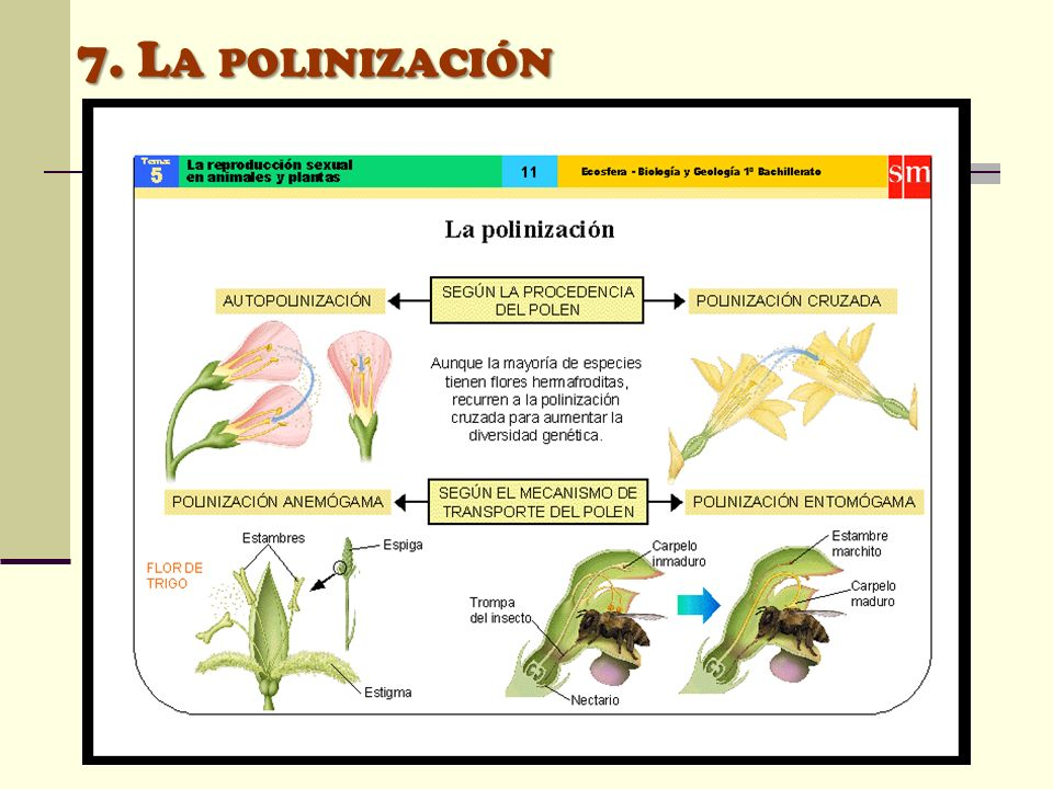 7. L A POLINIZACIÓN