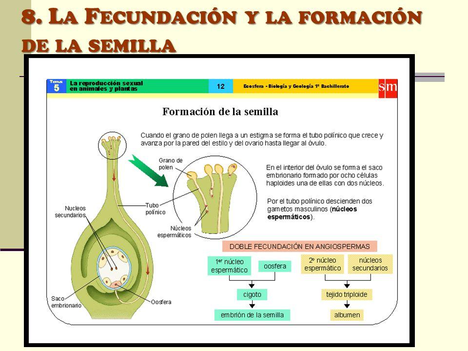 8. L A F ECUNDACIÓN Y LA FORMACIÓN DE LA SEMILLA