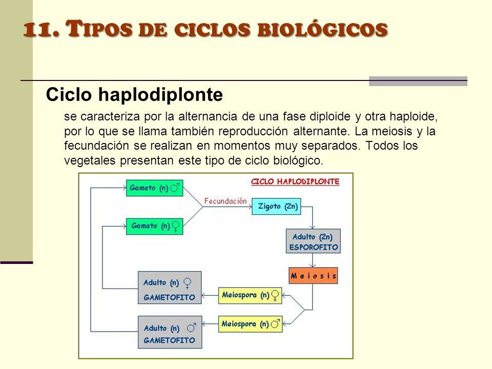 Ciclo haplodiplonte se caracteriza por la alternancia de una fase diploide y otra haploide, por lo que se llama también reproducción alternante. La me