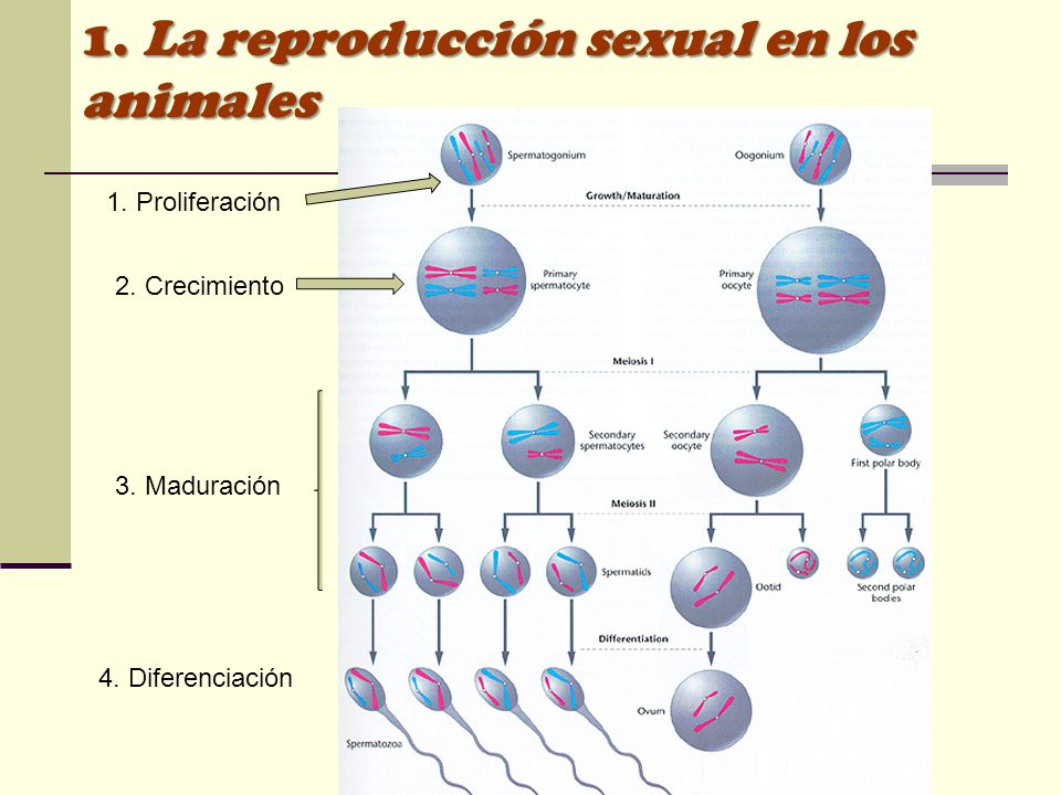 1. Proliferación 2. Crecimiento 3. Maduración 4. Diferenciación