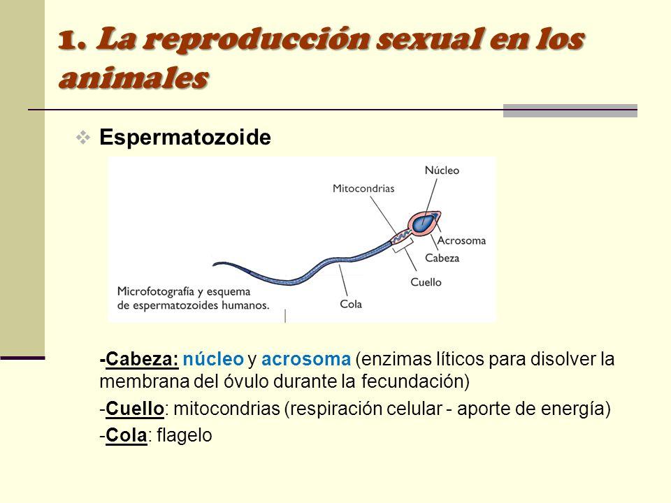 Espermatozoide -Cabeza: núcleo y acrosoma (enzimas líticos para disolver la membrana del óvulo durante la fecundación) -Cuello: mitocondrias (respirac