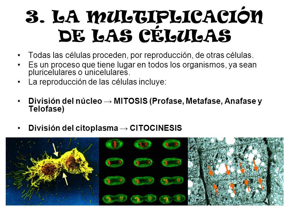 3. LA MULTIPLICACIÓN DE LAS CÉLULAS Todas las células proceden, por reproducción, de otras células. Es un proceso que tiene lugar en todos los organis