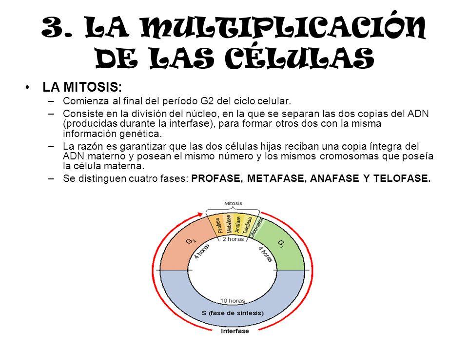 LA MITOSIS: –Comienza al final del período G2 del ciclo celular. –Consiste en la división del núcleo, en la que se separan las dos copias del ADN (pro