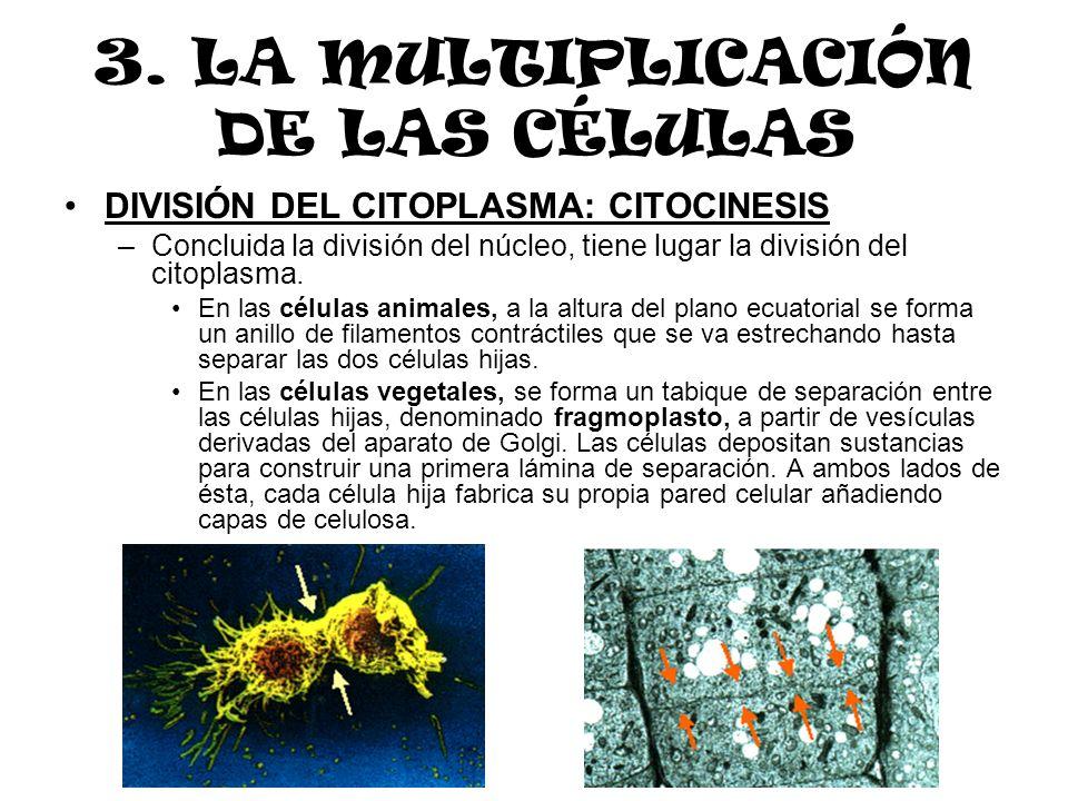 3. LA MULTIPLICACIÓN DE LAS CÉLULAS DIVISIÓN DEL CITOPLASMA: CITOCINESIS –Concluida la división del núcleo, tiene lugar la división del citoplasma. En