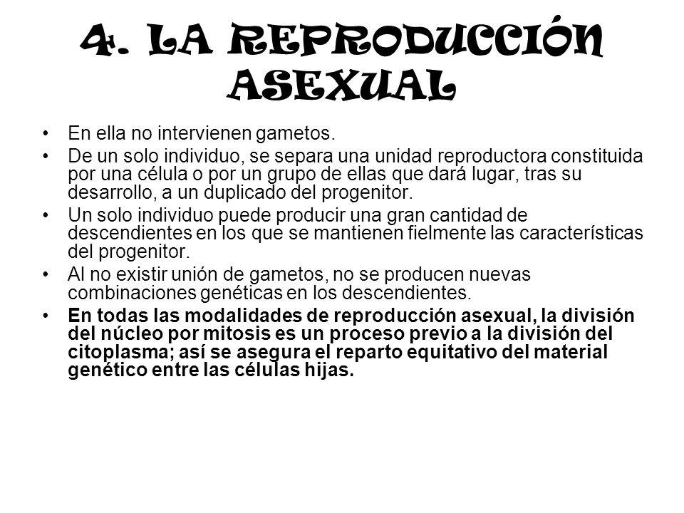 4. LA REPRODUCCIÓN ASEXUAL En ella no intervienen gametos. De un solo individuo, se separa una unidad reproductora constituida por una célula o por un
