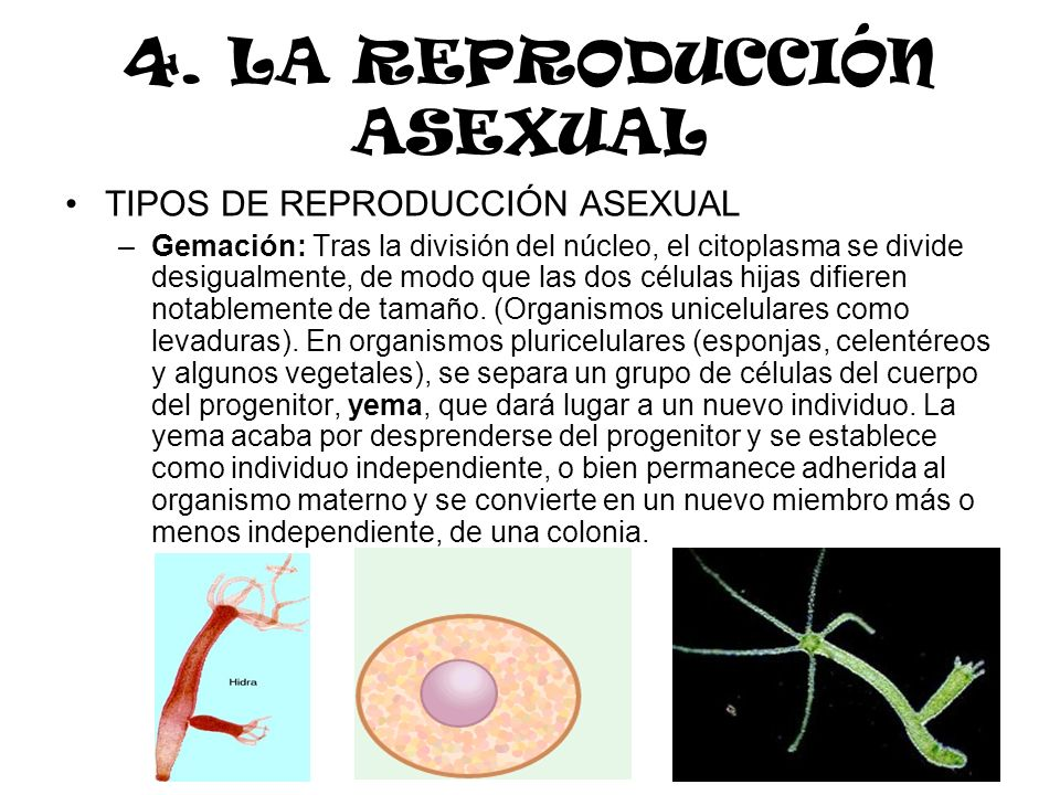 4. LA REPRODUCCIÓN ASEXUAL TIPOS DE REPRODUCCIÓN ASEXUAL –Gemación: Tras la división del núcleo, el citoplasma se divide desigualmente, de modo que la