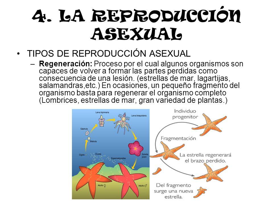 4. LA REPRODUCCIÓN ASEXUAL TIPOS DE REPRODUCCIÓN ASEXUAL –Regeneración: Proceso por el cual algunos organismos son capaces de volver a formar las part
