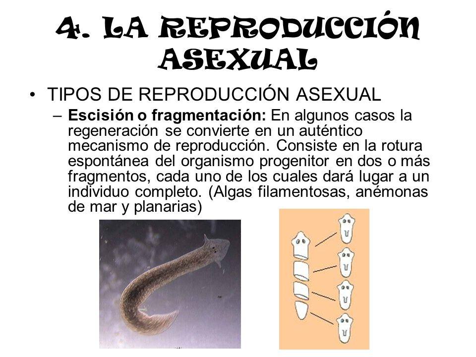 4. LA REPRODUCCIÓN ASEXUAL TIPOS DE REPRODUCCIÓN ASEXUAL –Escisión o fragmentación: En algunos casos la regeneración se convierte en un auténtico meca