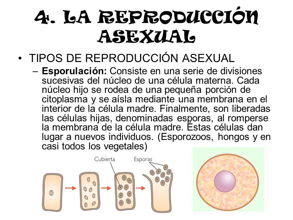 4. LA REPRODUCCIÓN ASEXUAL TIPOS DE REPRODUCCIÓN ASEXUAL –Esporulación: Consiste en una serie de divisiones sucesivas del núcleo de una célula materna