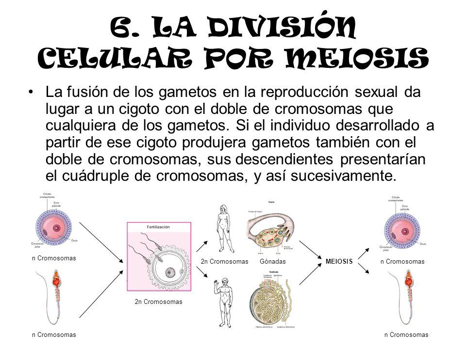 6. LA DIVISIÓN CELULAR POR MEIOSIS La fusión de los gametos en la reproducción sexual da lugar a un cigoto con el doble de cromosomas que cualquiera d
