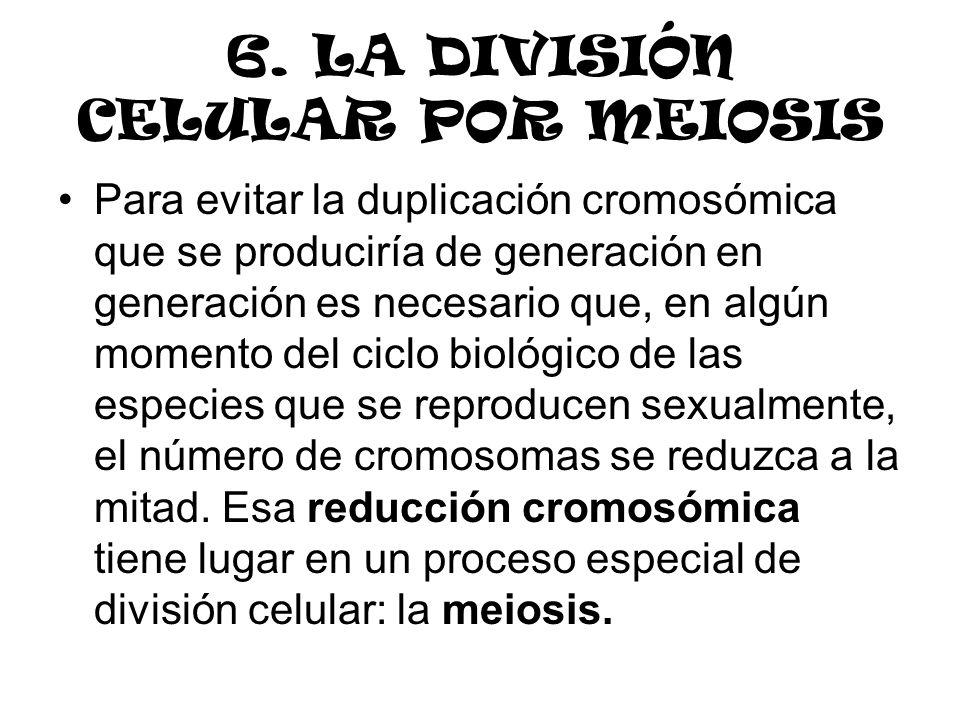 6. LA DIVISIÓN CELULAR POR MEIOSIS Para evitar la duplicación cromosómica que se produciría de generación en generación es necesario que, en algún mom