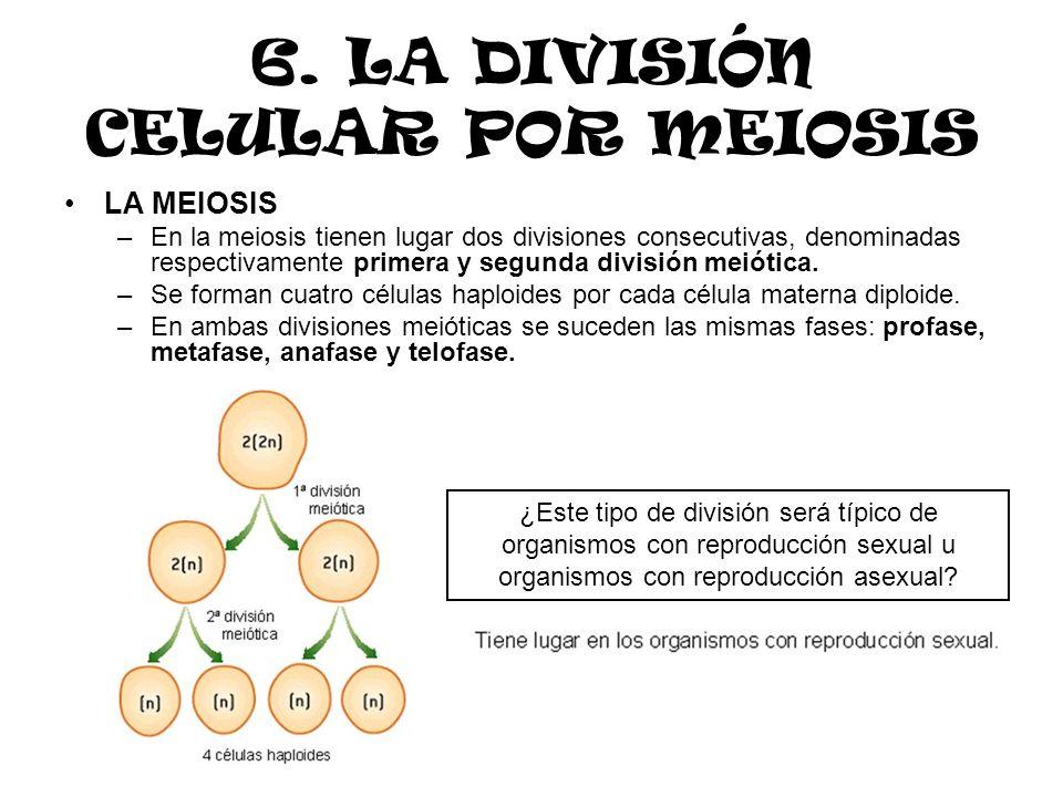6. LA DIVISIÓN CELULAR POR MEIOSIS LA MEIOSIS –En la meiosis tienen lugar dos divisiones consecutivas, denominadas respectivamente primera y segunda d