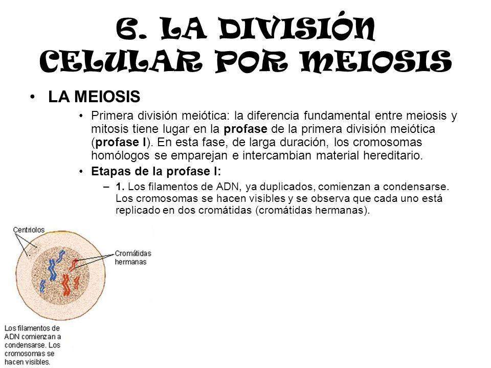6. LA DIVISIÓN CELULAR POR MEIOSIS LA MEIOSIS Primera división meiótica: la diferencia fundamental entre meiosis y mitosis tiene lugar en la profase d