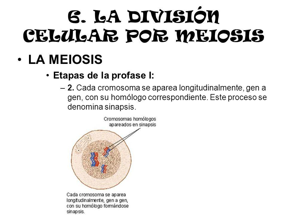 6. LA DIVISIÓN CELULAR POR MEIOSIS LA MEIOSIS Etapas de la profase I: –2. Cada cromosoma se aparea longitudinalmente, gen a gen, con su homólogo corre