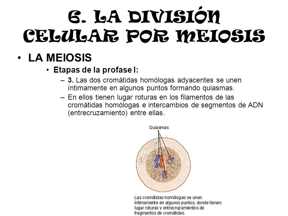 6. LA DIVISIÓN CELULAR POR MEIOSIS LA MEIOSIS Etapas de la profase I: –3. Las dos cromátidas homólogas adyacentes se unen íntimamente en algunos punto