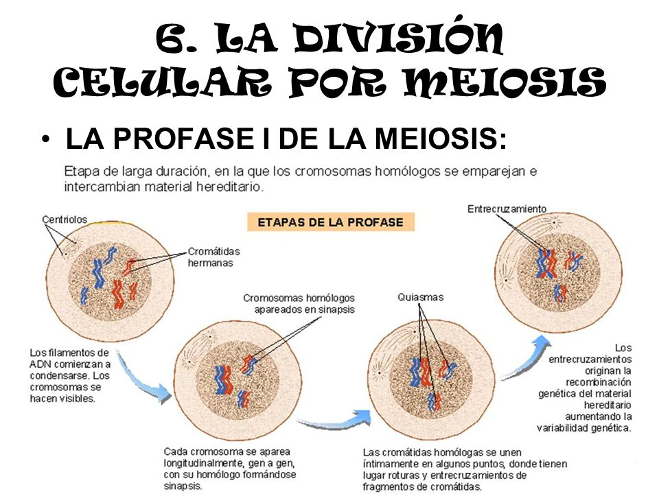 6. LA DIVISIÓN CELULAR POR MEIOSIS LA PROFASE I DE LA MEIOSIS: