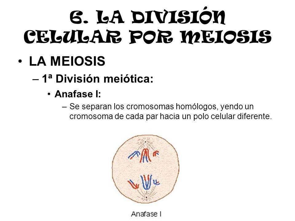 6. LA DIVISIÓN CELULAR POR MEIOSIS LA MEIOSIS –1ª División meiótica: Anafase I: –Se separan los cromosomas homólogos, yendo un cromosoma de cada par h