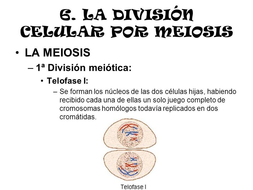 6. LA DIVISIÓN CELULAR POR MEIOSIS LA MEIOSIS –1ª División meiótica: Telofase I: –Se forman los núcleos de las dos células hijas, habiendo recibido ca