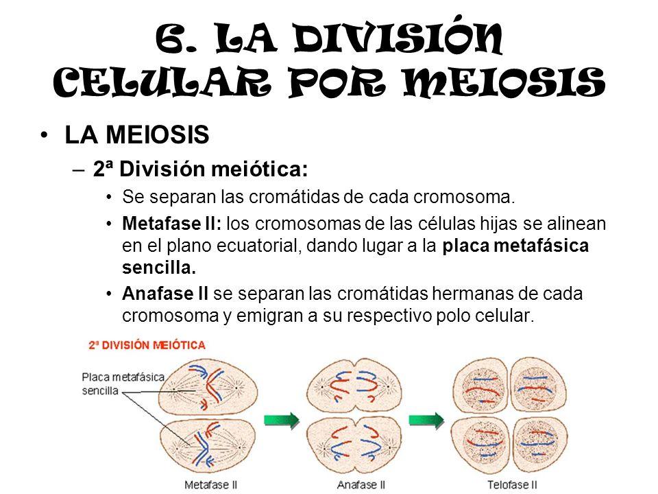 6. LA DIVISIÓN CELULAR POR MEIOSIS LA MEIOSIS –2ª División meiótica: Se separan las cromátidas de cada cromosoma. Metafase II: los cromosomas de las c