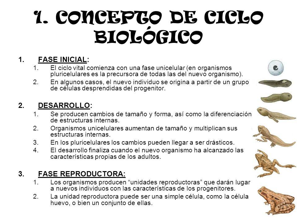 1. CONCEPTO DE CICLO BIOLÓGICO 1.FASE INICIAL: 1.El ciclo vital comienza con una fase unicelular (en organismos pluricelulares es la precursora de tod