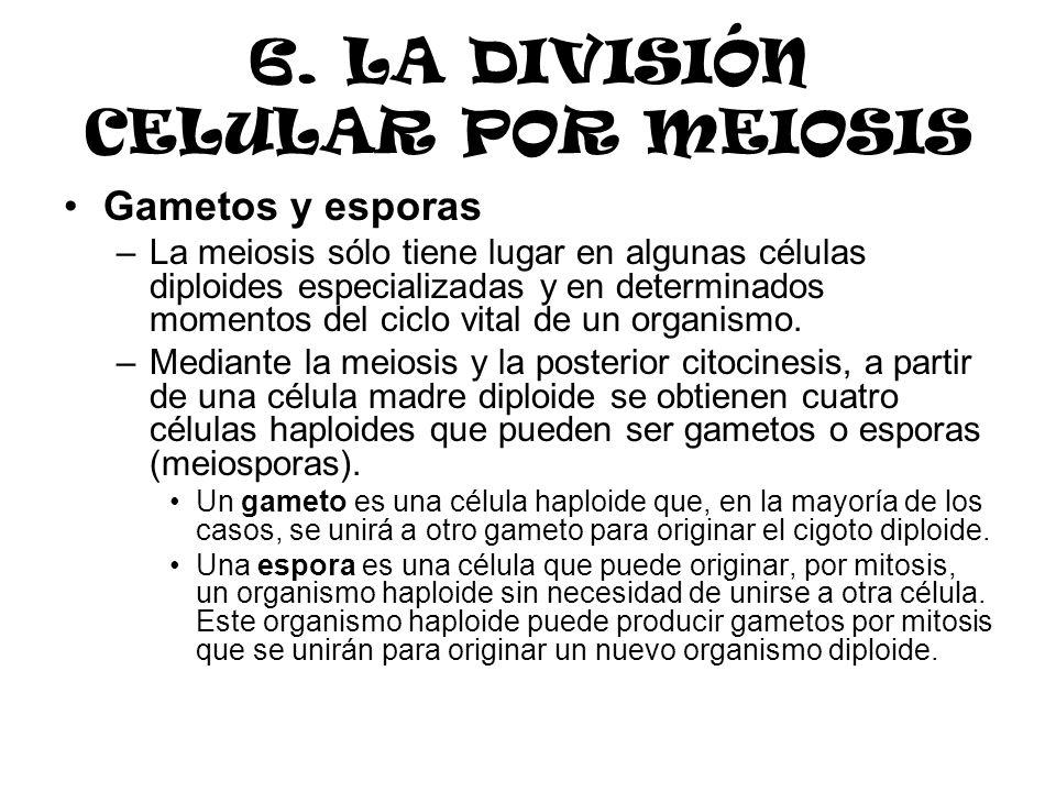 6. LA DIVISIÓN CELULAR POR MEIOSIS Gametos y esporas –La meiosis sólo tiene lugar en algunas células diploides especializadas y en determinados moment