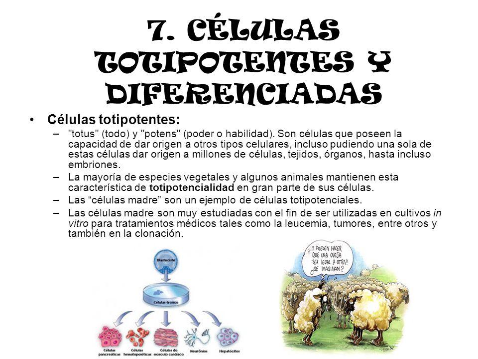 7. CÉLULAS TOTIPOTENTES Y DIFERENCIADAS Células totipotentes: –